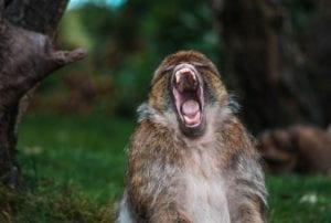 Monkey screaming lament